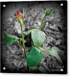 Selective Color Rose Bud Acrylic Print by Emily Kelley