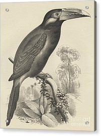 Selenidera Spectabilis  Yellow Eared Toucanet Acrylic Print