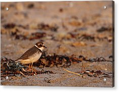 Acrylic Print featuring the photograph Semipalmated Plover by Juergen Roth