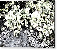 Acrylic Print featuring the photograph Sempervivum - Ebony And Ivory  by Janine Riley