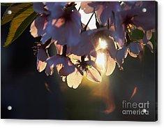 Sentimental Blooming Acrylic Print by Hideaki Sakurai