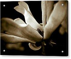 Sepia Magnolia Acrylic Print by Frank Tschakert