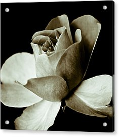 Sepia Rose Acrylic Print by Frank Tschakert