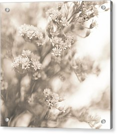 Sepia Solidago 2 Acrylic Print by Anne Gilbert