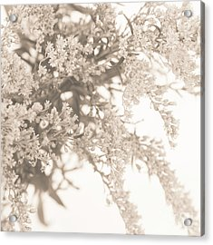 Sepia Solidago 3 Acrylic Print by Anne Gilbert
