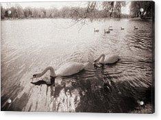 Sepia Swans Acrylic Print