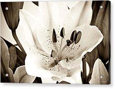 Sepia Toned Asian Lily Acrylic Print by John Pagliuca