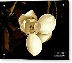 Sepia-toned Magnolia Acrylic Print