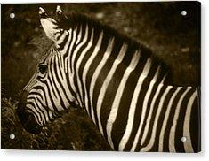 Sepia Zebra Acrylic Print