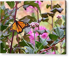 September Monarch Acrylic Print