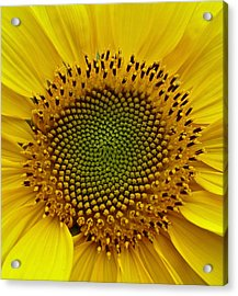Acrylic Print featuring the photograph September Sunflower by Richard Cummings