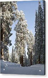 Sequoia National Park 4 Acrylic Print