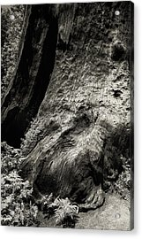 Sequoia With Ferns Acrylic Print