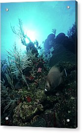 Serene Gray Angelfish And Sunburst Sun Acrylic Print
