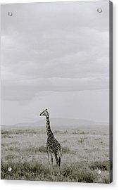 Serengeti Solitude Acrylic Print by Shaun Higson