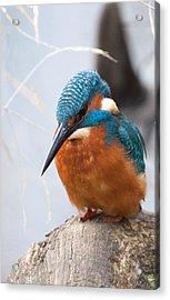 Serious Kingfisher Acrylic Print
