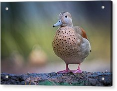 Acrylic Print featuring the photograph Seriously Cute by Cindy Lark Hartman