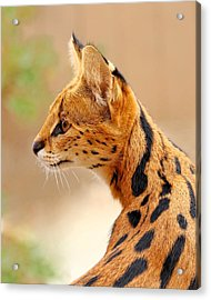 Serval - Extreme Hunter Acrylic Print