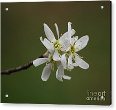Serviceberry Bloom Acrylic Print