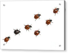 Seven-spotted Lady Beetles Acrylic Print