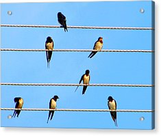 Acrylic Print featuring the photograph Seven Swallows by Ana Maria Edulescu