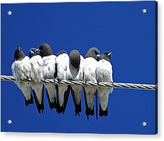 Seven Swallows Sitting Acrylic Print by Holly Kempe