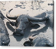 Several Water Buffalos Wallowing In A Mud Hole In Asia - Closer Acrylic Print by Jason Rosette