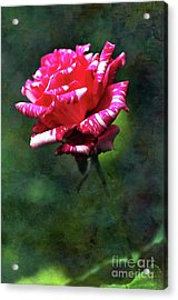 Sexy Rexy Rose Acrylic Print by Kaye Menner