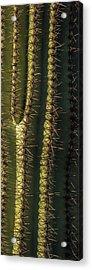 Saguaro Cactus Detail Acrylic Print by Steve Gadomski