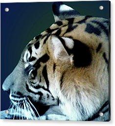 Shades Of A Tiger  Series Acrylic Print by Debra     Vatalaro