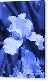 Shades Of Blue Iris  Acrylic Print
