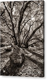 Shadow Tree Acrylic Print