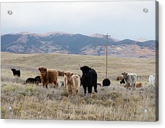 Acrylic Print featuring the photograph Shaggy-coated Cattle Near Jefferson by Carol M Highsmith