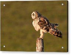 Shaking Short-eared Owl Acrylic Print by Roeselien Raimond