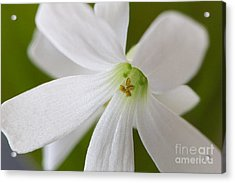 Shamrock Blossom Acrylic Print by Sharon Talson