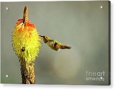 Sharing The Nectar Acrylic Print