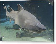 Shark Run Acrylic Print by Paul SEQUENCE Ferguson             sequence dot net