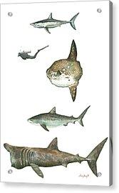 Sharks And Mola Mola Acrylic Print by Juan Bosco
