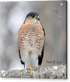 Sharp-shinned Hawk Acrylic Print