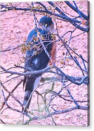 Sharp-shinned Hawk Hunting In The Desert 2 Acrylic Print