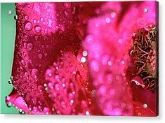 Sharp Wet Rose Acrylic Print