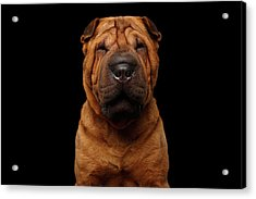 Sharpei Dog Isolated On Black Background Acrylic Print