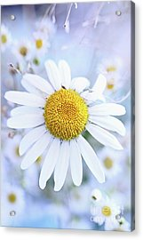 Acrylic Print featuring the photograph Shasta Daisy by Stephanie Frey