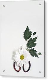Shasta Daisy Still Life Acrylic Print