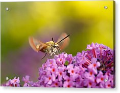 Like A Rainbow - Broad Bordered Bee Hawk-moth Acrylic Print by Roeselien Raimond