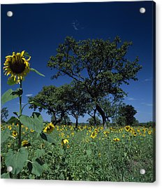 Shea Trees Intercropped With Sunflowers Acrylic Print by David Pluth