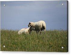 Sheep 4221 Acrylic Print