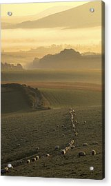 Sheep And Misty South Downs Acrylic Print by Hazy Apple