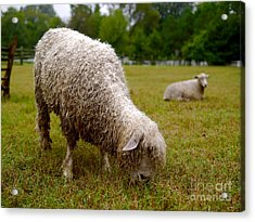 Sheep Begin A New Day Acrylic Print