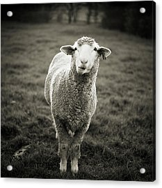 Sheep Chewing Cud Acrylic Print